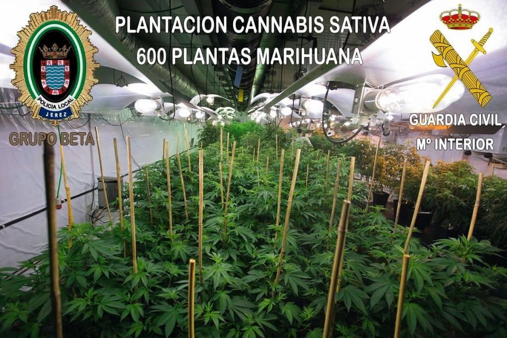 Detenidas cuatro personas en Jerez por un cultivo de marihuana valorado en 130.000 euros