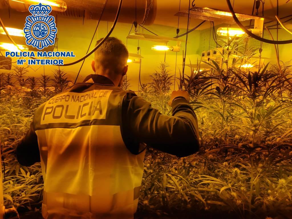 Desmantelado un nuevo cultivo de marihuana en la calle Nueva con casi 180 plantas