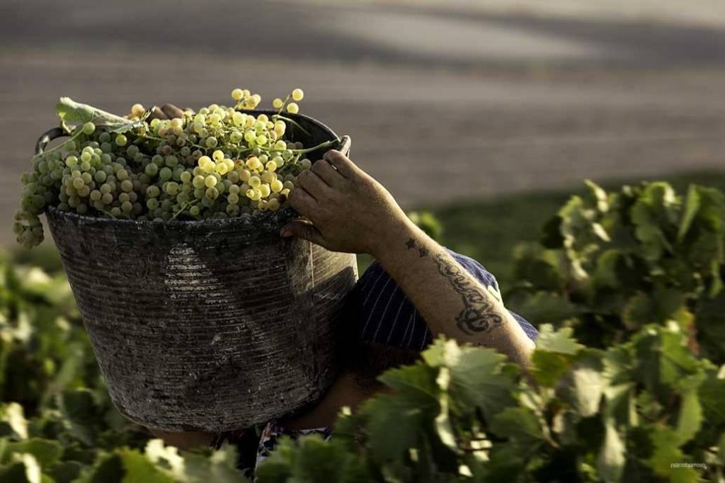 La vendimia finaliza en Jerez con menos uvas pero ''de gran calidad''